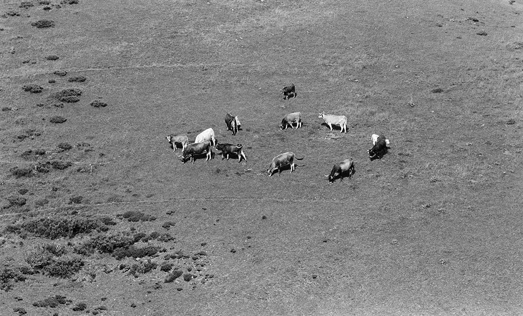 Pasto de vacas
